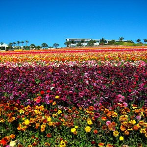 Flower Fields Festival in Carlsbad